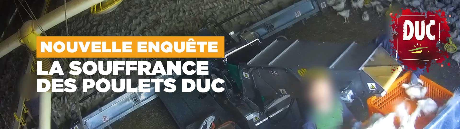 Souffrance des poulets DUC
