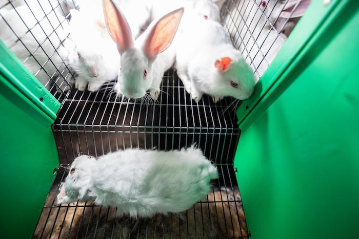 Un lapin mort parmi les vivants.
