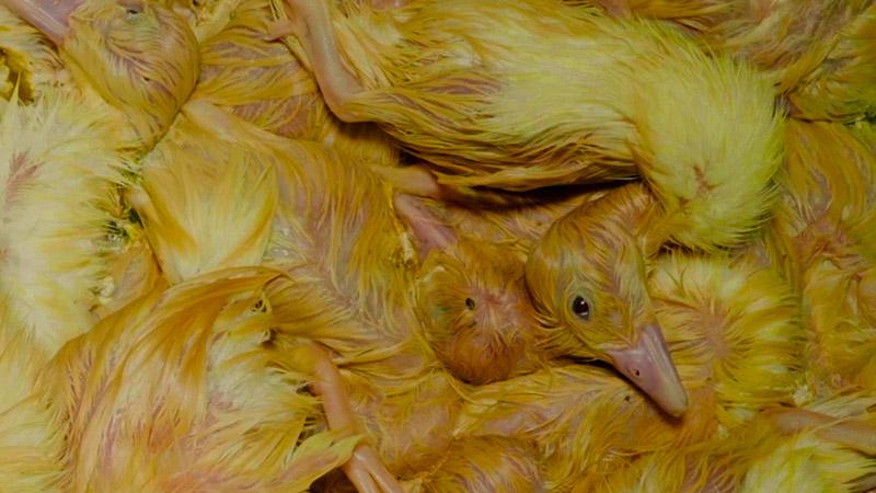 Enquête foie gras périgord